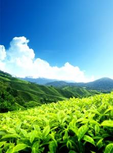 Khavar tea